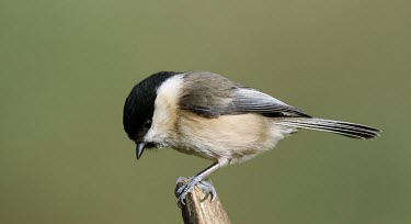 A willow tit perched on a stump willow tit,Animalia,Chordata,Aves,Passeriformes,Paridae,Poecile montanus,bird,birds,tit,green background,shallow focus,perch,perched,perching,Wild