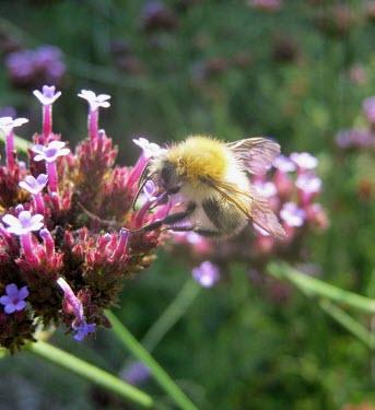 Common carder bee gathering pollen bumblebee,bee,bees,bumblebees,insect,insects,invertebrate,invertebrates,nectar,flower,flowers,pollen,pollinator,macro,close up,shallow focus,verbena,common carder bee,bombus pascuorum,Common carder bu