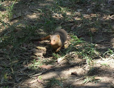A common dwarf mongoose mammal,mammals,vertebrate,vertebrates,terrestrial,predator,foraging,mongoose,carnivore,Common dwarf mongoose,Helogale parvula,Chordates,Chordata,Herpestidae,Mongooses, Meerkat,Carnivores,Carnivora,Mam