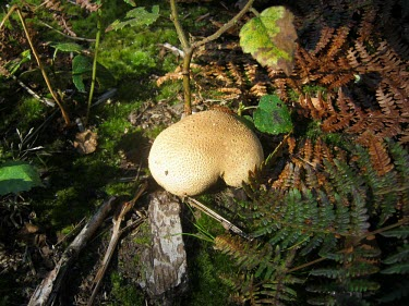 Common earthball fungus surrounded by fern common earthball,pigskin poison puffball,common earth ball,fungus,fungi,funguses,eukaryotic,mushrooms,mushroom,Agaricomycetes,Boletales,Sclerodermataceae,Scleroderma,Scleroderma citrinum,close up,wood