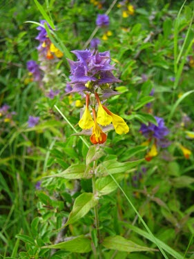 Wood cow-wheat Plantae,Lamiales,Orobanchaceae,Melampyrum,Melampyrum nemorosum,Wood cow-wheat,flower,wild flower,flowers,meadow,close up,flora