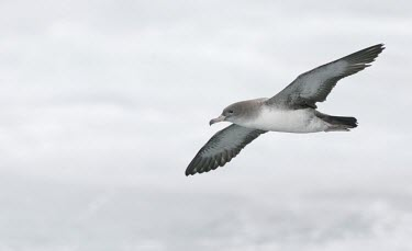 Pink-footed shearwater in flight, view from below Locomotion,Flying,Pink-footed shearwater,Puffinus creatopus,Procellariidae,Shearwaters and Petrels,Ciconiiformes,Herons Ibises Storks and Vultures,Procellariiformes,Albatrosses, Petrels,Chordates,Chor