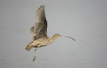 Far eastern curlew in flight Flapping flight,Locomotion,Flying,Numenius madagascariensis,Far eastern curlew,Sandpipers, Phalaropes,Scolopacidae,Chordates,Chordata,Ciconiiformes,Herons Ibises Storks and Vultures,Aves,Birds,Charadr