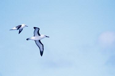 Indian yellow-nosed albatross in flight Locomotion,Flying,Indian yellow-nosed albatross,Thalassarche carteri,Albatrosses,Diomedeidae,Ciconiiformes,Herons Ibises Storks and Vultures,Aves,Birds,Chordates,Chordata,Procellariiformes,Albatrosses
