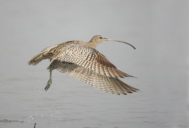 Far eastern curlew in flight Locomotion,Take-off,Flying,Numenius madagascariensis,Far eastern curlew,Sandpipers, Phalaropes,Scolopacidae,Chordates,Chordata,Ciconiiformes,Herons Ibises Storks and Vultures,Aves,Birds,Charadriiforme