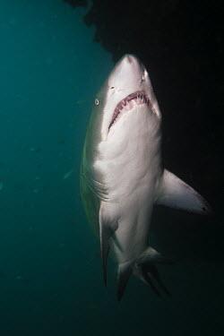 Sand tiger shark cruising the reef shark,sharks,elasmobranch,elasmobranchs,elasmobranchii,predator,marine,marine life,sea,sea life,ocean,oceans,water,underwater,aquatic,sea creature,belly,underside,white,counter shading,teeth,Sand tige