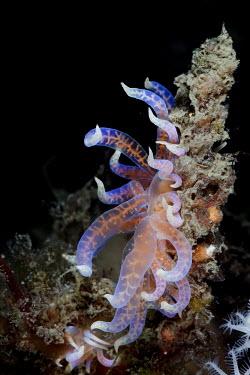 An aeolid nudibranch nudibranch,nudibranchs,gastropod,gastropods,mollusc,molluscs,reef,reef life,Animalia,Mollusca,Gastropoda,Aeolidida,marine,marine life,sea,sea life,ocean,oceans,water,underwater,aquatic,sea creature,ap