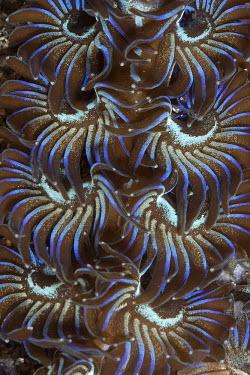 Tassel covered nudibranch nudibranch,nudibranchs,gastropod,gastropods,mollusc,molluscs,reef,reef life,Animalia,Mollusca,Gastropoda,Aeolidida,marine,marine life,sea,sea life,ocean,oceans,water,underwater,aquatic,sea creature,ap