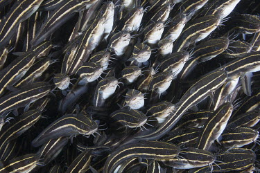 A dense school of striped catfish fish,vertebrates,water,underwater,aquatic,marine,marine life,sea,sea life,ocean,oceans,sea creature,catfish,shoal,school,group,face,faces,barbel,striped,stripey,stripes,Striped catfish,Plotosus lineat