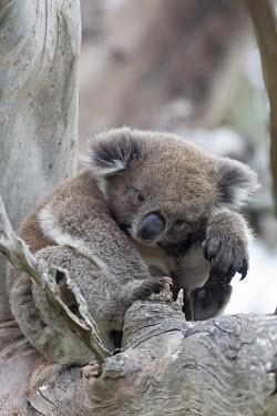 Koala sat in a tree mammal,mammals,vertebrate,vertebrates,terrestrial,Australia,Australian,marsupial,marsupials,endemic,koala,koala bear,koalas,drop bear,claws,cute,fluffy,arboreal,Koala,Phascolarctos cinereus,Diprotodon