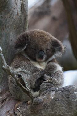 Koala snoozing in a tree mammal,mammals,vertebrate,vertebrates,terrestrial,Australia,Australian,marsupial,marsupials,endemic,koala,koala bear,koalas,drop bear,cute,fluffy,arboreal,asleep,sleep,sleeping,nap,nap time,rest,Koala