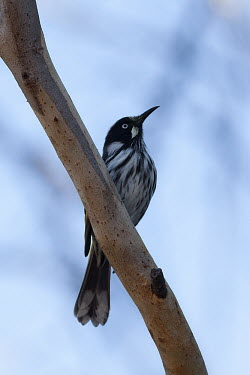 New Holland honeyeater New Holland honeyeater,Animalia,Chordata,Aves,Passeriformes,Meliphagidae,Phylidonyris novaehollandiae,bird,birds,honeyeater,shallow focus,blue background,perch,perching,perched,black and white