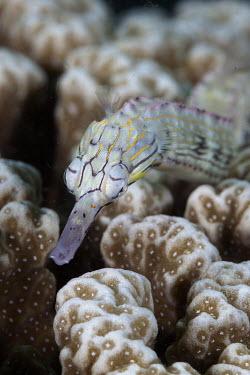 Banded pipefish amongst coral Banded Pipefish,Australian Banded Pipefish,Australian Messmate Pipefish,Messmate Pipefish,Scribbled Pipefish,Waite's Pipefish,Scribbled dragonface pipefish,pipefish,Animalia,Chordata,Actinopterygii,Sy