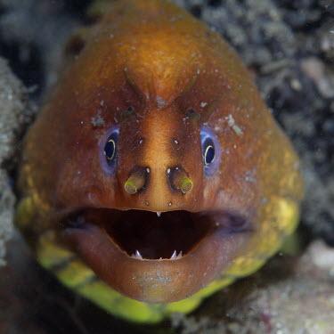 Close up of an Australian green moray Animalia,Chordata,Actinopterygii,Anguilliformes,Muraenidae,Gymnothorax,Gymnothorax prasinus,Australian green moray,Australian moray,green moray,moray,moray eel,eel,eels,portrait,close up,macro,face,te