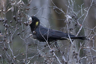 Yellow-tailed black cockatoo Yellow-tailed black cockatoo,Animalia,Chordata,Aves,Psittaciformes,Cacatuidae,Zanda funerea,bird,birds,parrot,parrots,cockatoo,cockatoos,eating,feeding,food