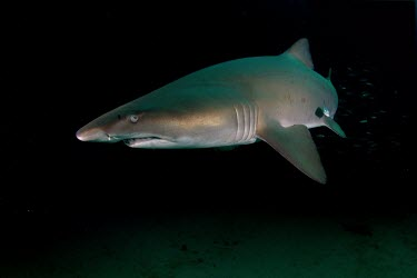 Sand tiger shark cruising the sea floor shark,sharks,elasmobranch,elasmobranchs,elasmobranchii,predator,marine,marine life,sea,sea life,ocean,oceans,water,underwater,aquatic,sea creature,night,night time,sea bed,sea floor,fish,Sand tiger sh
