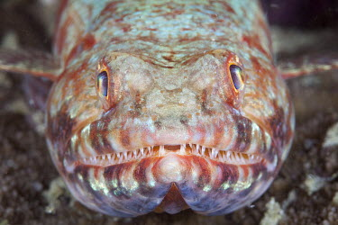 Portrait of a lizardfish fish,vertebrates,water,underwater,aquatic,marine,marine life,sea,sea life,ocean,oceans,sea creature,lizard fish,lizardfish,face,close up,handsome,teeth,mouth,portrait,Lizardfish
