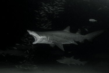 Sand tiger shark hunting mackerel shark,sharks,elasmobranch,elasmobranchs,elasmobranchii,predator,marine,marine life,sea,sea life,ocean,oceans,water,underwater,aquatic,sea creature,mackerel,fish,feeding,eating,hunting,hunt,food,eat,di