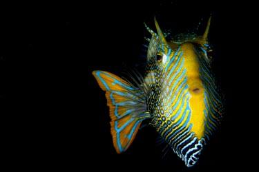 Portrait of an ornate cowfish Aracana ornata,ornate cowfish,boxfish,fish,vertebrates,water,underwater,aquatic,marine,marine life,sea,sea life,ocean,oceans,sea creature,black background,negative space,close up,colourful,colorful,ye