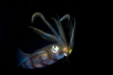 A squid baring its tentacles Cephalopod,Cephalopoda,mollusca,Animalia,mollusc,tentacles,invertebrate,invertebrates,water,underwater,aquatic,marine,marine life,sea,sea life,ocean,oceans,sea creature,squid,squids,pattern,patterned,