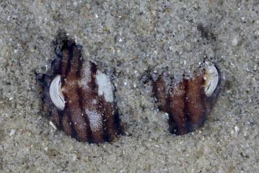 A striped pyjama squid buried in the sand Animalia,Mollusca,Cephalopoda,Sepioloida,Sepiadariidae,Sepioloidea lineolata,Striped pyjama squid,bobtail squid,striped dumpling squid,mollusc,molluscs,reef life,marine invertebrate,marine invertebrat