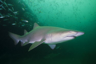 Sand tiger shark in a school of mackerel shark,sharks,elasmobranch,elasmobranchs,elasmobranchii,predator,marine,marine life,sea,sea life,ocean,oceans,water,underwater,aquatic,sea creature,mackerel,fish,shoal,feeding,Sand tiger shark,Carchari