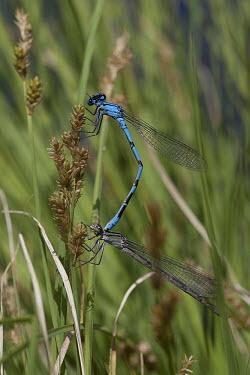 Damselfly mating damselfly,damselflies,insect,insects,invertebrate,invertebrates,Animalia,Arthropoda,Insecta,Odonata,close up,mating,reproduction,breeding,shallow focus,blue