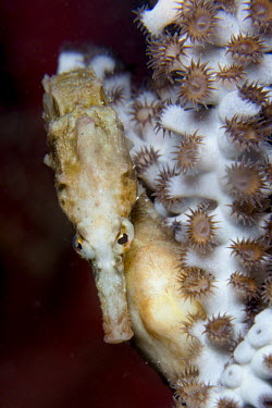 Close up of a seahorse clinging to coral sea horse,seahorse,sea-horse,sea horses,seahorses,sea-horses,fish,vertebrates,water,underwater,aquatic,marine,marine life,sea,sea life,ocean,oceans,sea creature,macro,close up,reef,coral,coral reef