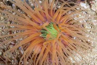 Close up of a sea anemone sea anemone,anemone,neon,reef,invertebrate,invertebrates,marine invertebrate,marine invertebrates,marine,marine life,sea,sea life,ocean,oceans,water,underwater,aquatic,sea creature,close up,orange