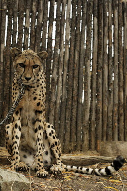 A cheetah chained in a zoo enclosure cat,cats,feline,felidae,predator,carnivore,zoo,spots,spotted,big cat,chained,chains,trapped,prisoner,prison,collar,collared,sad,human impact,lonely,Cheetah,Acinonyx jubatus,Chordates,Chordata,Carnivor