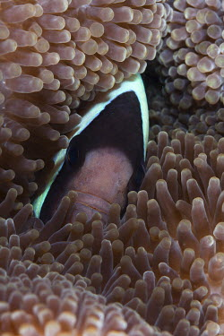 Clark�s anemonefish hiding in a sea anemone fish,vertebrates,water,underwater,aquatic,marine,marine life,sea,sea life,ocean,oceans,sea creature,face,hiding,anemone,anemone fish,macro,close up,tentacles,protection,habitat,Clark�s anemonefish,Amp