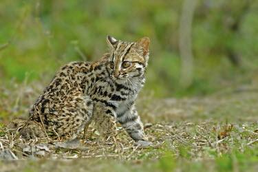 Leopard cat looking fluffy cat,cats,feline,felidae,predator,carnivore,wild cat,jungle,jungles,forest,tropical,tropics,tiny,cute,fluffy,furry,kitten,young,juvenile,shallow focus,green background,Leopard Cat,Prionailurus bengalen