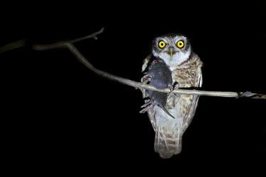 A spotted owlet clasping a fresh kill Spotted owlet,owlet,Animalia,Chordata,Aves,Strigiformes,Strigidae,Athene brama,owl,owls,bird of prey,birds of prey,predator,talons,carnivore,hunter,bird,birds,hunting,rat,food,feeding,eating,dinner,ni