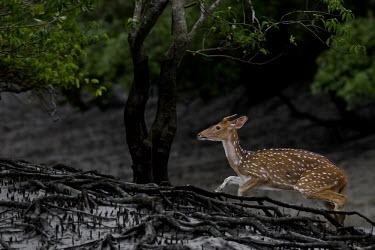 Chital crossing through mangrove herbivores,herbivore,vertebrate,mammal,mammals,terrestrial,ungulate,deer,deers,ruminant,Axis deer,Indian spotted deer,spotted deer,mud,mangroves,mangrove,spotted,running,forest,Chital,Axis axis,Chorda