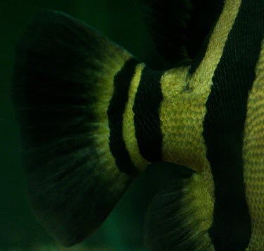 Siamese tiger perch tail Siamese tiger perch,Datnioides pulcher,Actinopterygii,Ray-finned Fishes,Chordates,Chordata,Bass and Perches,Perciformes,Coius pulcher,Datnioides,Ponds and lakes,Streams and rivers,IUCN Red List,Aquati