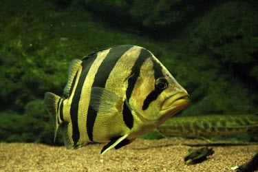 Siamese tiger perch swimming Locomotion,Siamese tiger perch,Datnioides pulcher,Actinopterygii,Ray-finned Fishes,Chordates,Chordata,Bass and Perches,Perciformes,Coius pulcher,Datnioides,Ponds and lakes,Streams and rivers,IUCN Red