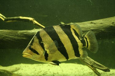 Siamese tiger perch Adult,Siamese tiger perch,Datnioides pulcher,Actinopterygii,Ray-finned Fishes,Chordates,Chordata,Bass and Perches,Perciformes,Coius pulcher,Datnioides,Ponds and lakes,Streams and rivers,IUCN Red List,