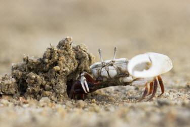 A male fiddler crab by its burrow crab,crabs,crustacean,crustaceans,exoskeleton,claw,claws,reef,reef life,Animalia,Arthropoda,Crustacea,marine,marine life,sea,sea life,ocean,oceans,water,underwater,aquatic,sea creature,hole,sand,beach