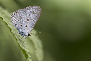 Common hedge blue butterfly during dry season Animalia,Arthropoda,Insecta,Lepidoptera,Lycaenidae,Acytolepis,Acytolepis puspa,insect,insects,invertebrate,invertebrates,macro,shallow focus,close up,fly,leaf,negative space,butterfly,butterflies,gree