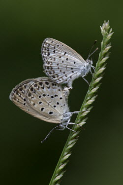Pale grass blue butterflies mating Animalia,Arthropoda,Insecta,Lepidoptera,Lycaenidae,Pseudozizeeria,Pseudozizeeria maha,butterfly,butterflies,insect,insects,invertebrate,invertebrates,macro,close up,shallow focus,pair,mating,couple,re