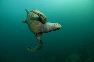 A green turtle dead due to ghost fishing sea turtle,sea turtles,turtle,turtles,reptile,reptiles,marine,marine life,sea,sea life,ocean,oceans,water,underwater,aquatic,sea creature,threat,threats,ocean threats,ghost fishing,fishing line,tangle