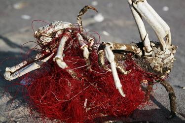Spider crabs dead, caught in netting spider crab,spider crabs,crab,crabs,crustacean,crustaceans,exoskeleton,claw,claws,Animalia,Arthropoda,Crustacea,Decapoda,Majidae,marine,marine life,sea life,sea creature,ghost fishing,fishing line,fis