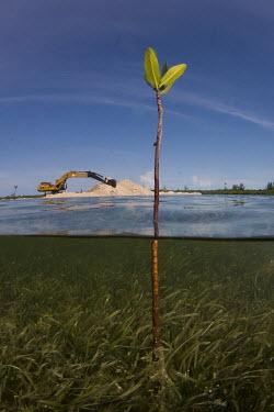 A lone mangrove shoot sprouting from sea grass mangrove,mangroves,coast,coastal,coastline,human impact,humans,people,development,environment,habitat,landscape,deforestation,sea grass,seagrass,pasture,ecosystem,threat,ocean threat,habitat loss