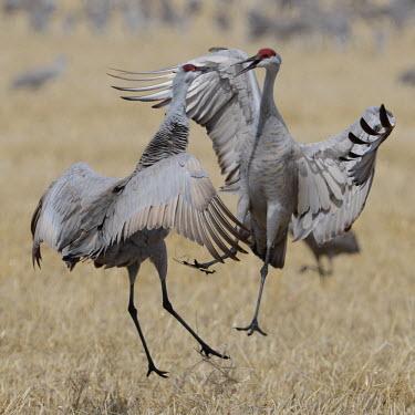 Sandhill cranes squabbling bird,birds,crane,cranes,wetland,wader,waders,wading bird,flying,flight,in-flight,action,motion,jumping,happy,excited,jump,fight,fighting,rivalry,Sandhill crane,Grus canadensis,Chordates,Chordata,Gruif
