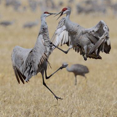 Sandhill cranes squabbling bird,birds,crane,cranes,wetland,wader,waders,wading bird,flying,flight,in-flight,action,motion,jumping,jump,fight,fighting,rivalry,Sandhill crane,Grus canadensis,Chordates,Chordata,Gruiformes,Rails an