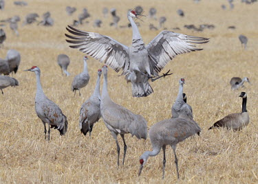 Flock of sandhill cranes bird,birds,crane,cranes,wetland,wader,waders,wading bird,flying,flight,in-flight,action,motion,flock,crash,landing,Sandhill crane,Grus canadensis,Chordates,Chordata,Gruiformes,Rails and Cranes,Aves,Bi