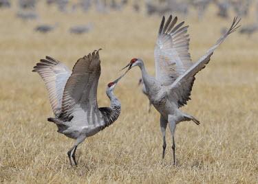 Sandhill cranes squabbling bird,birds,crane,cranes,wetland,wader,waders,wading bird,flying,flight,in-flight,action,motion,fight,fighting,rivalry,Sandhill crane,Grus canadensis,Chordates,Chordata,Gruiformes,Rails and Cranes,Aves