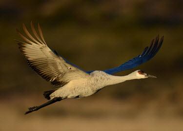 Sandhill crane in flight bird,birds,crane,cranes,wetland,wader,waders,wading bird,flying,flight,in-flight,action,motion,Sandhill crane,Grus canadensis,Chordates,Chordata,Gruiformes,Rails and Cranes,Aves,Birds,Gruidae,Grasslan