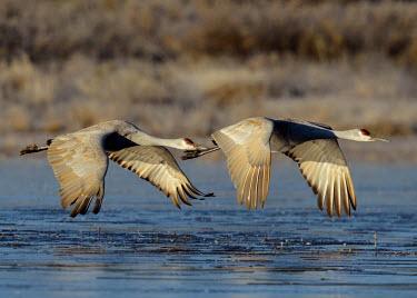 Sandhill cranes flying over water bird,birds,crane,cranes,wetland,wader,waders,wading bird,flying,flight,in-flight,action,motion,Sandhill crane,Grus canadensis,Chordates,Chordata,Gruiformes,Rails and Cranes,Aves,Birds,Gruidae,Grasslan