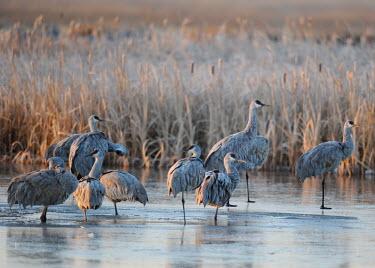 A flock of sandhill cranes on a frozen lake bird,birds,crane,cranes,wetland,wader,waders,wading bird,water,lake,pond,reflection,low light,soft light,sunset,frozen,cold,ice,winter,Sandhill crane,Grus canadensis,Chordates,Chordata,Gruiformes,Rail
